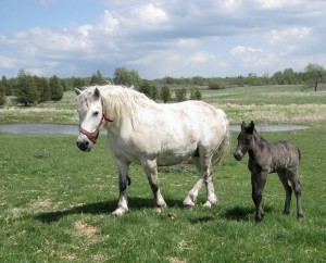 Percheron mare w Ella field pond600